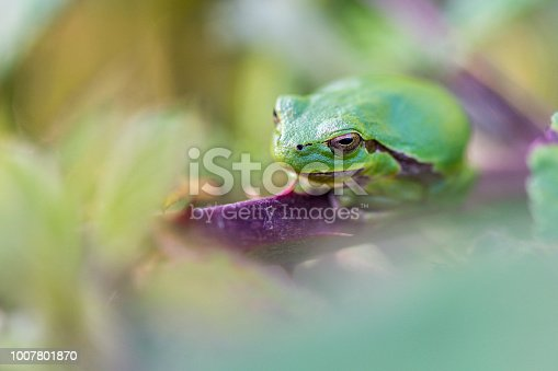 A green European tree frog is relaxing on a branch of a blackberry bush.