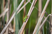 Tree Frog resting on cane in swamp, European Green Tree Frog, blur background, Isola della Cona, Monfalcone, Italy, amphibian, frog, full frame, copy space
