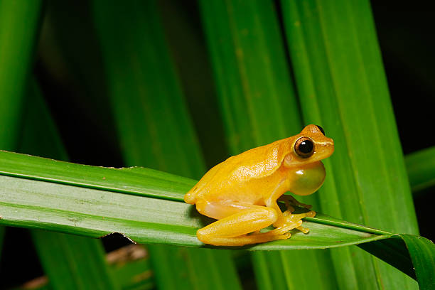 tree frog sits on palm and croaks - croak stock pictures, royalty-free photos & images