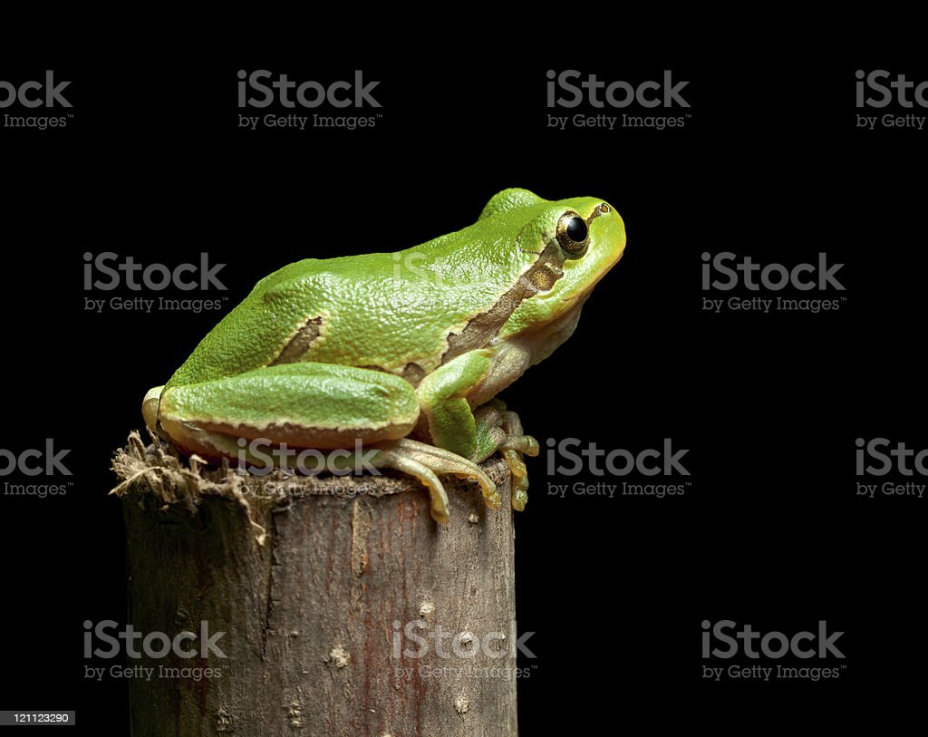 Tree frog sitting on branch top stock photo