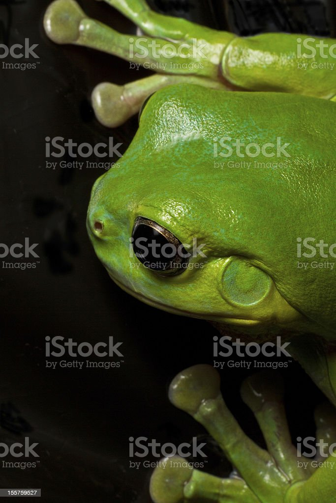 Tree frog splat royalty-free stock photo