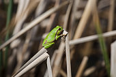 European Green Tree Frog taking sun on cane in swamp, blur background, Isola della Cona, Monfalcone, Italy, amphibian, frog, full frame, copy space
