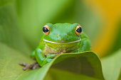 Tree frog whitelips smile and action