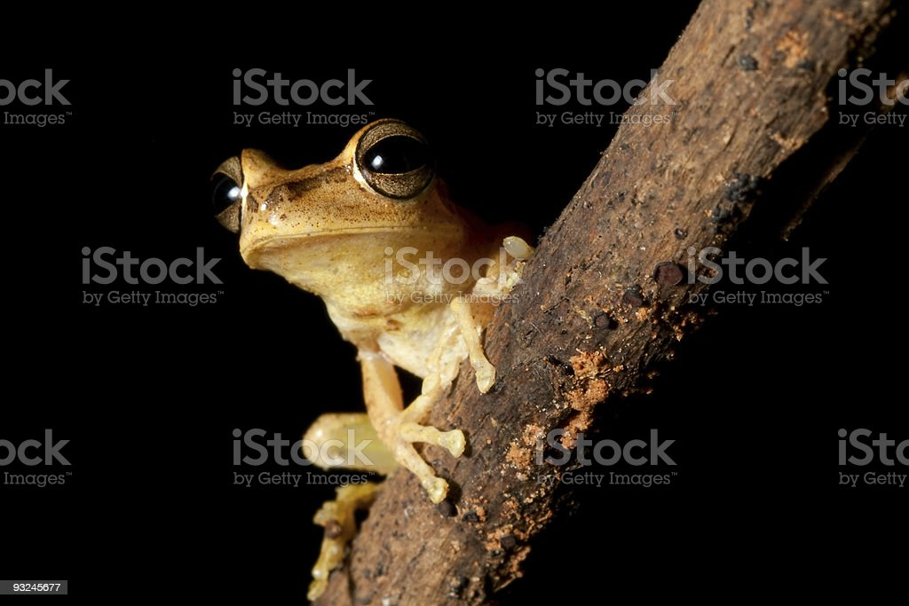 tree frog with hughe eyes staring into the night royalty-free stock photo