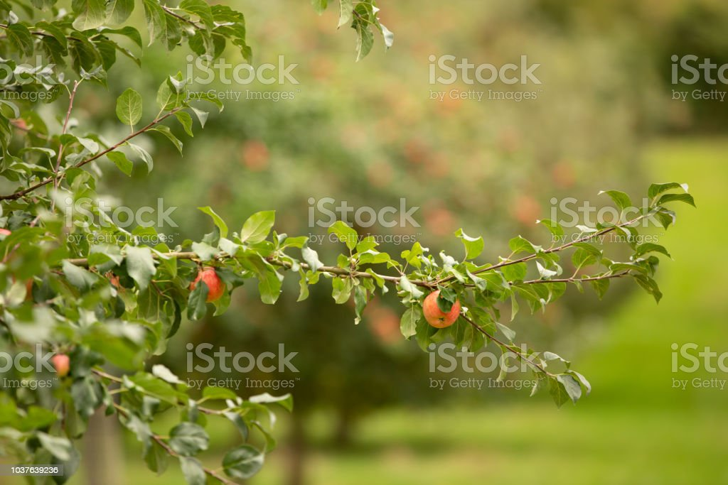 Tree full of red apples in a Herefordshire Orchard stock photo