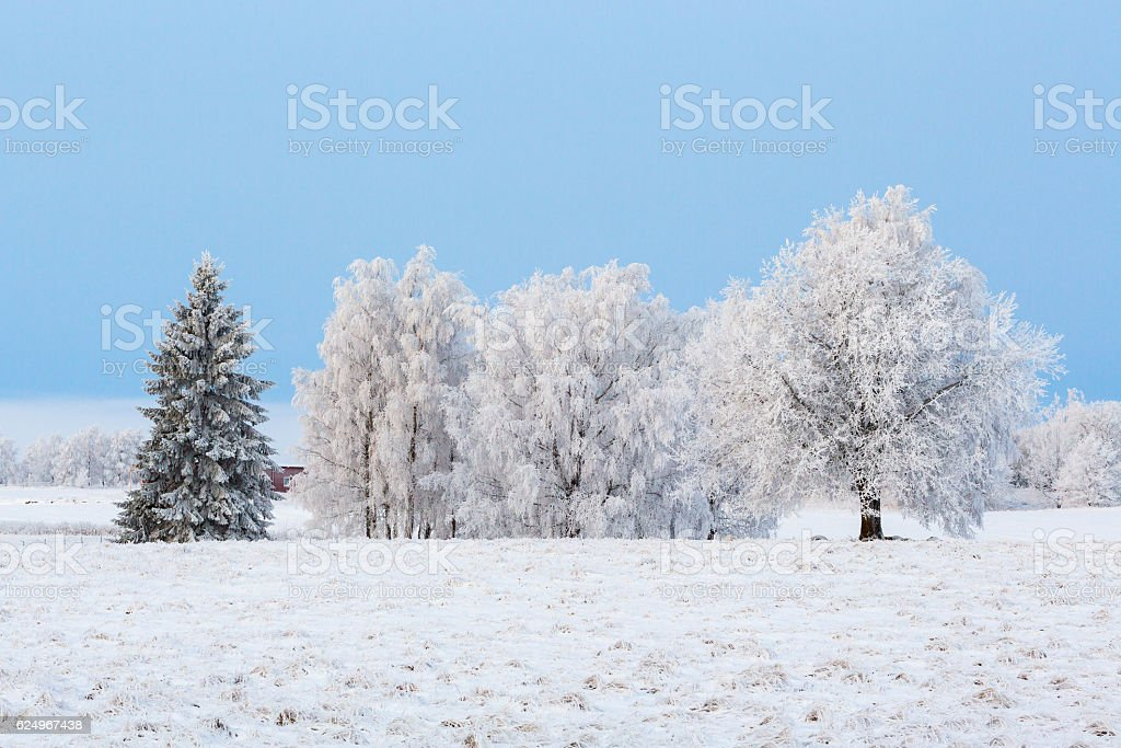 Tree grove with hoarfrost on the moor - foto de stock