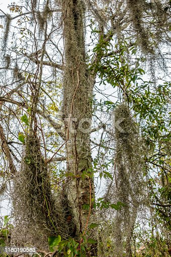 Tree growing in a swampy area, with moss-draped epiphytes such as Spanish Moss surviving over its trunk and branches.