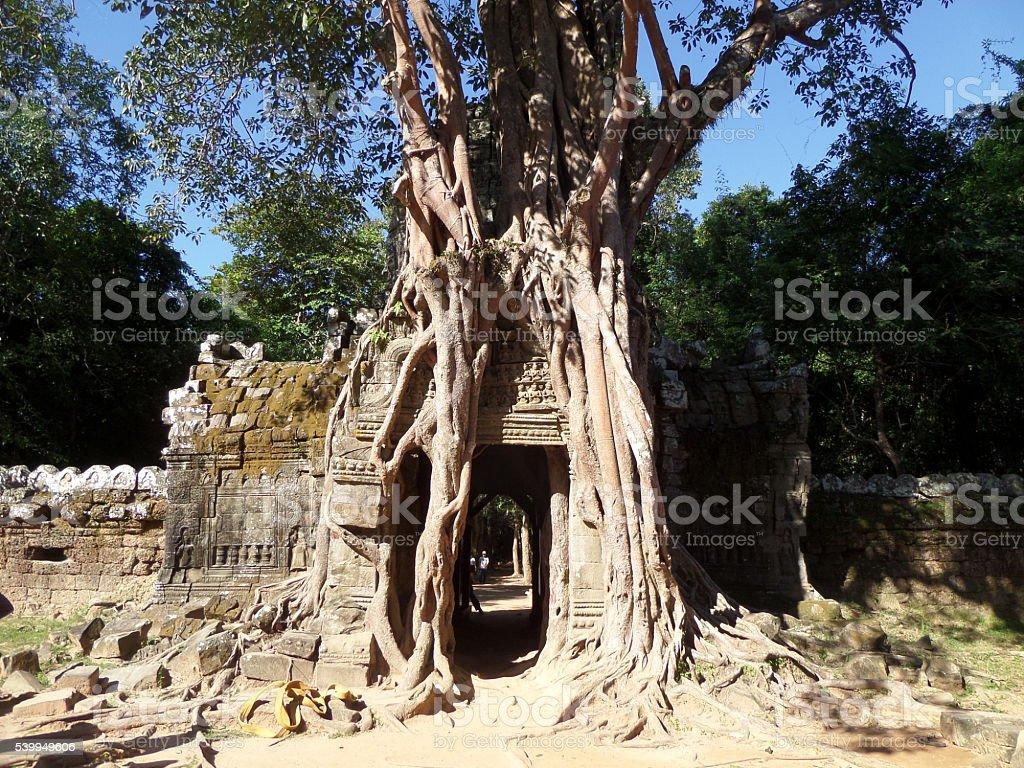 Tree Growing Over Wall, Angkor Wat, Cambodia - Horizontal stock photo
