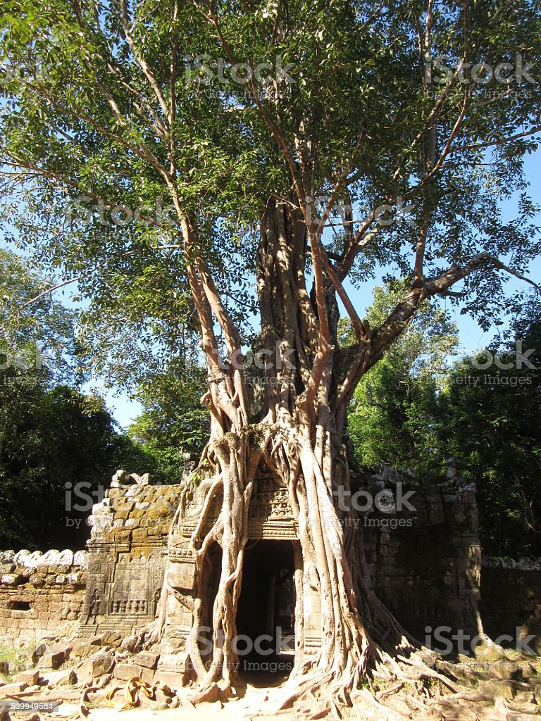 Tree Growing Over Wall, Angkor Wat, Cambodia - Vertical stock photo