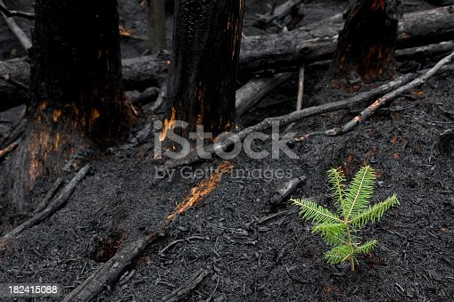 This little tree sprouted through the destruction of a forest fire200900502061See more in my Forest Fire Aftermath lightbox: