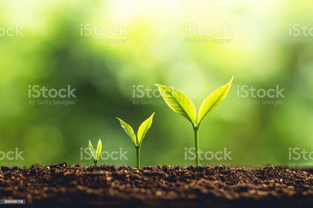 Baum-Wachstum drei Schritte In der Natur und schöner Morgen Beleuchtung – Foto