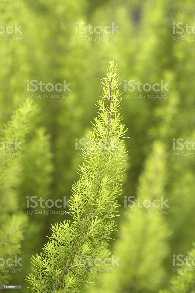 Tree Heather royalty-free stock photo
