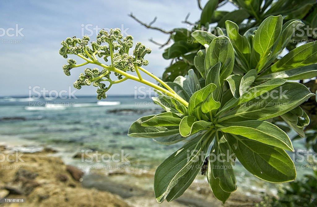 Tree Heliotrope stock photo