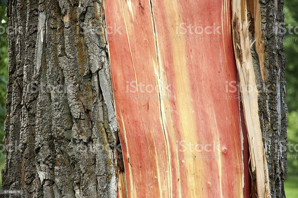 Tree hit by lightning royalty-free stock photo