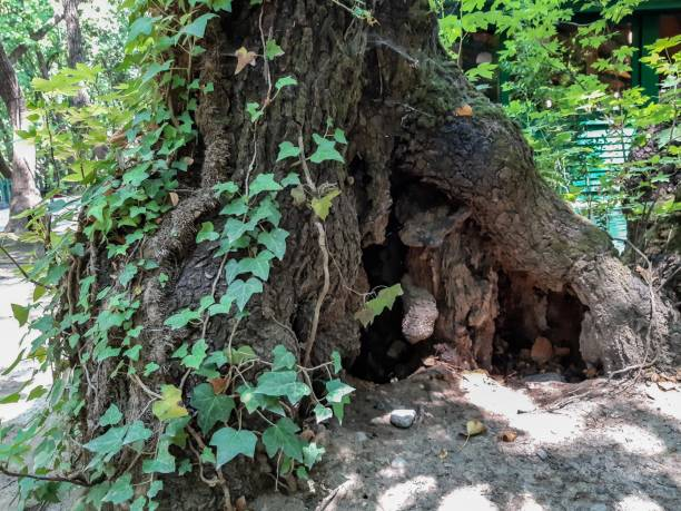 Tree Hollow Large Tree Trunk And Ivy House Of Small Animals Stock