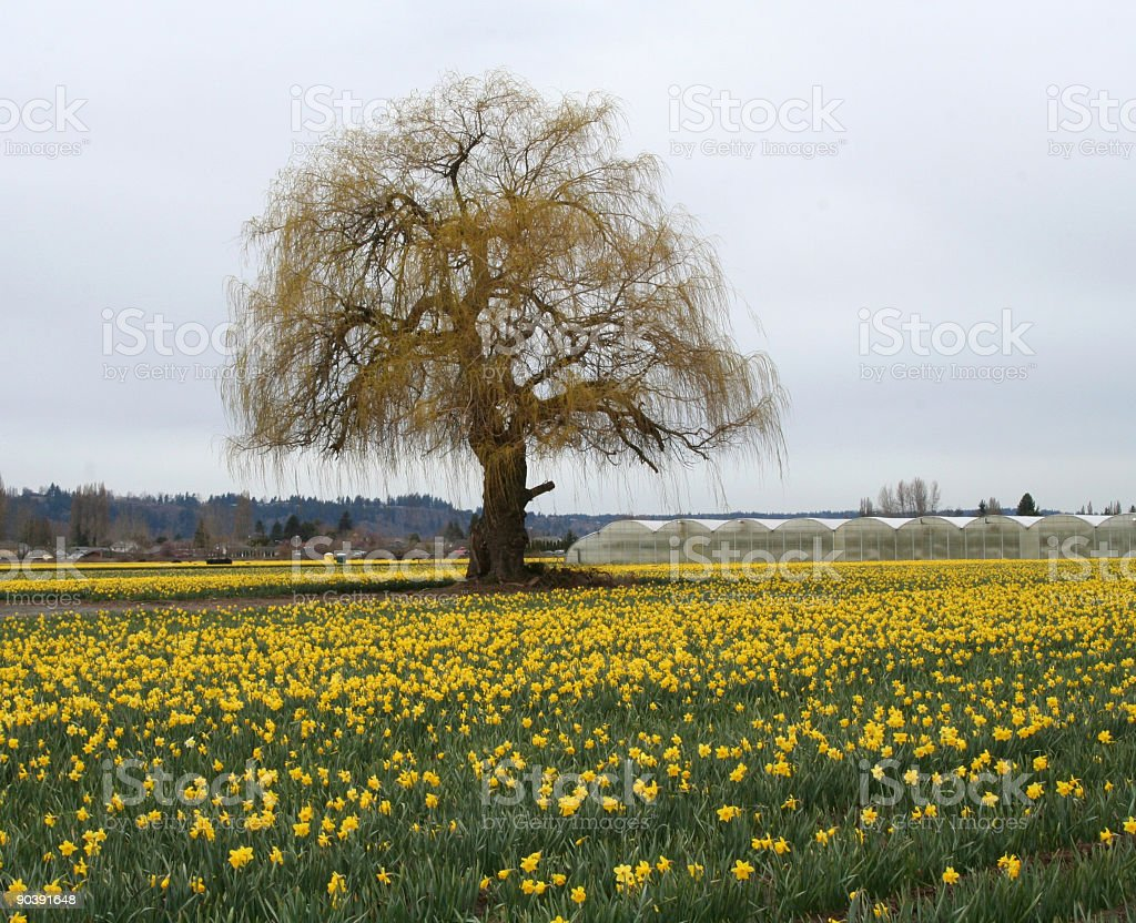 Tree in a Field of Daffodils royalty-free stock photo