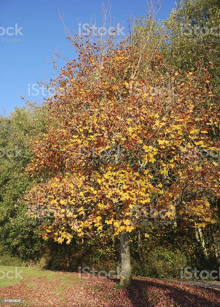 Tree in Autumn Colors with Blue Sky stock photo