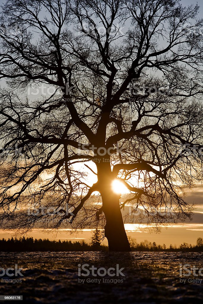 Tree in backlight royalty-free stock photo