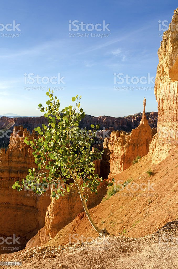 tree in Bryce Canyon royalty-free stock photo