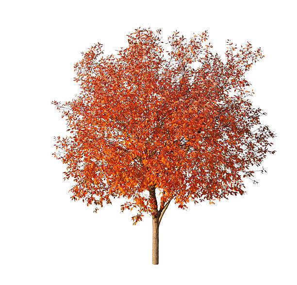 Tree in fall - isolated on white stock photo