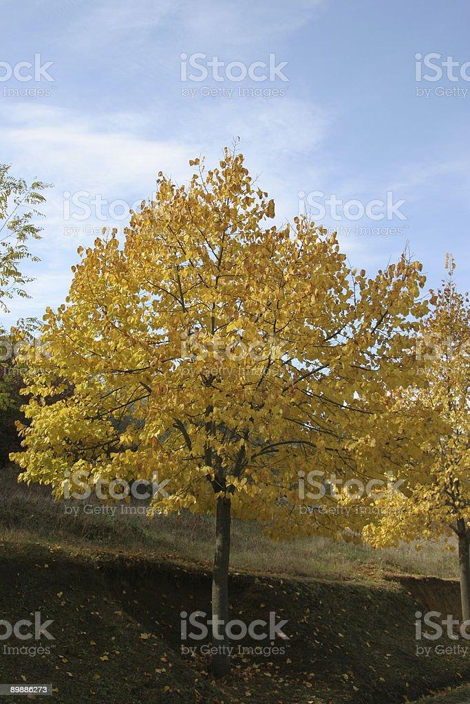 Tree in fall royalty-free stock photo