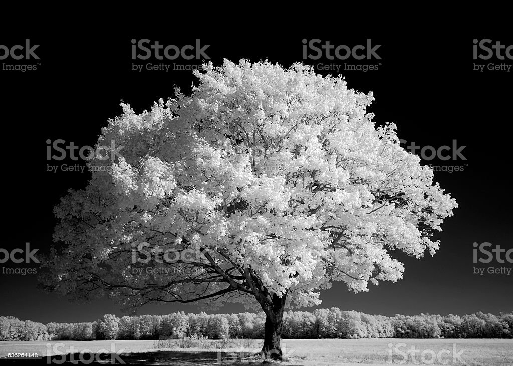 Tree in Field - Black and White stock photo