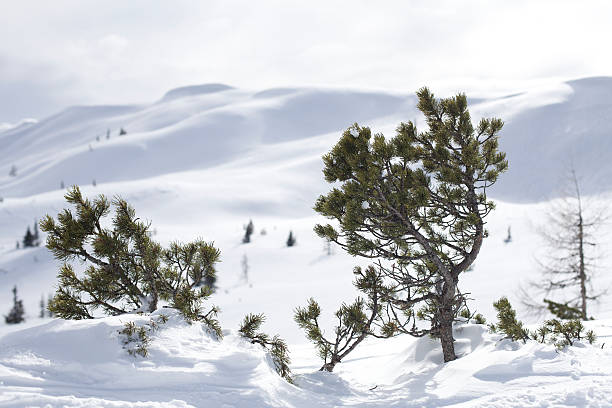 Tree in front of snowed mountain stock photo