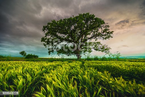 Tree in green wheat field and dramatic louds in the sky