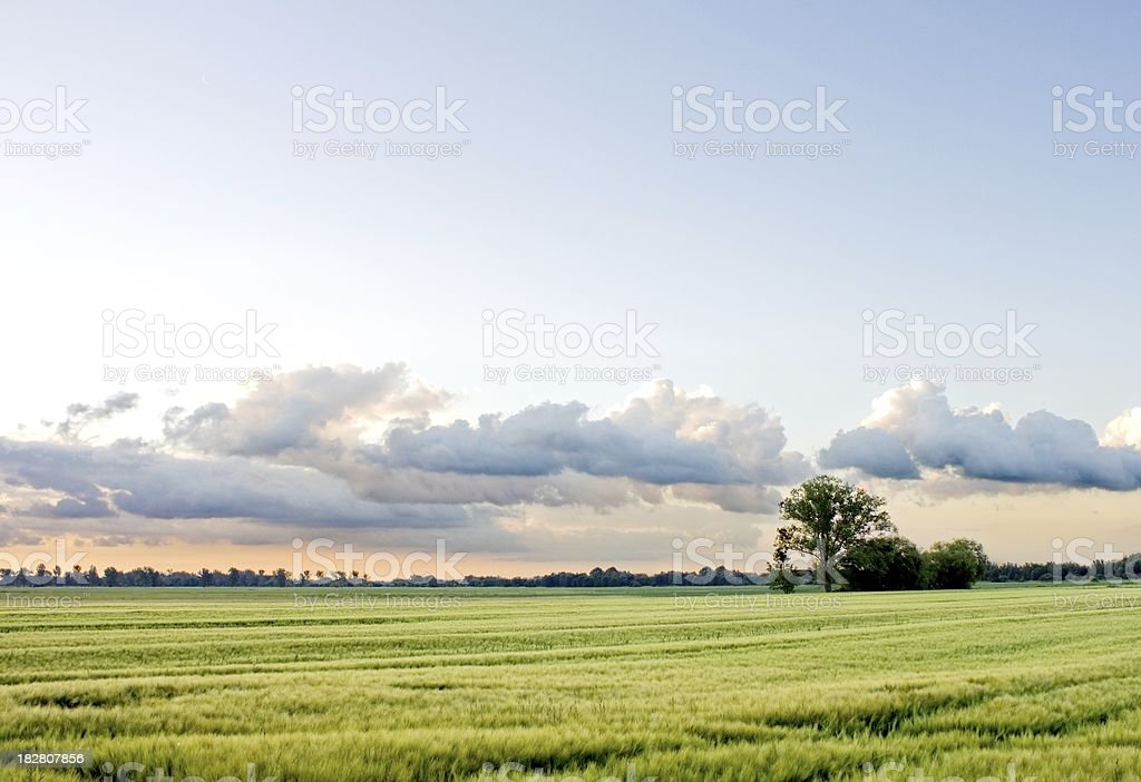 Tree in huge grain field with cloudy sky royalty-free stock photo