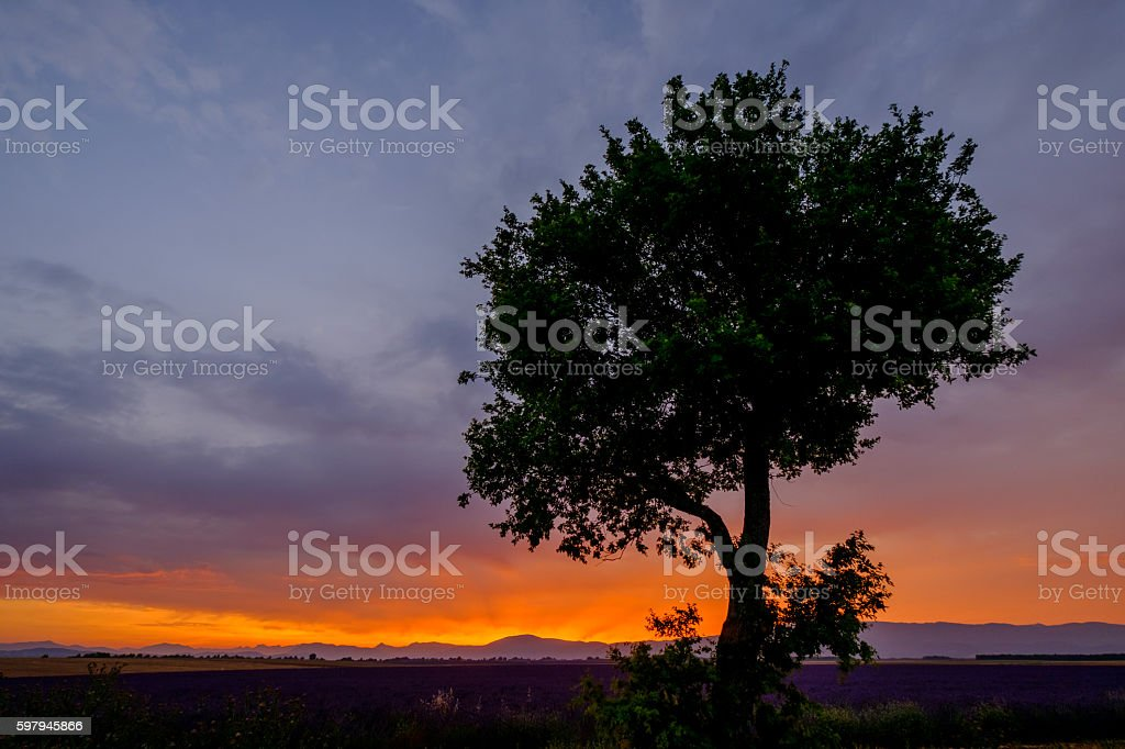Tree in lavender field at sunset foto royalty-free