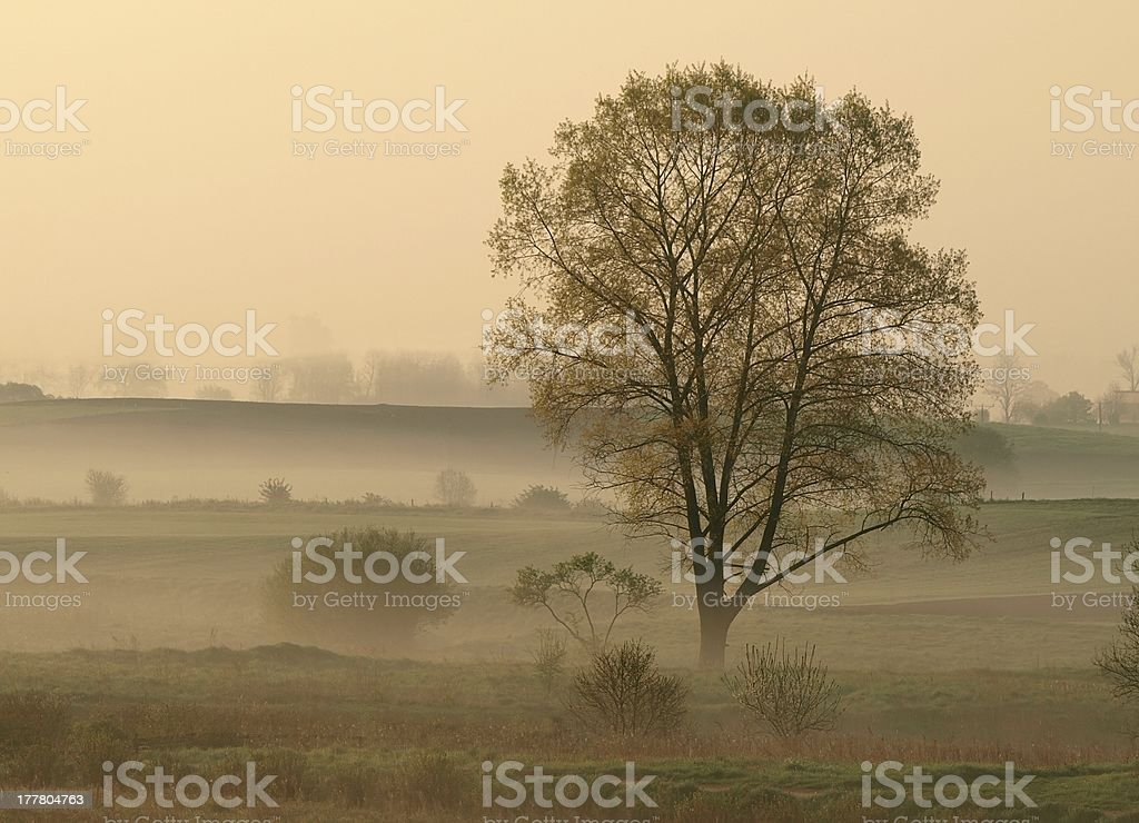 tree in morning fog royalty-free stock photo