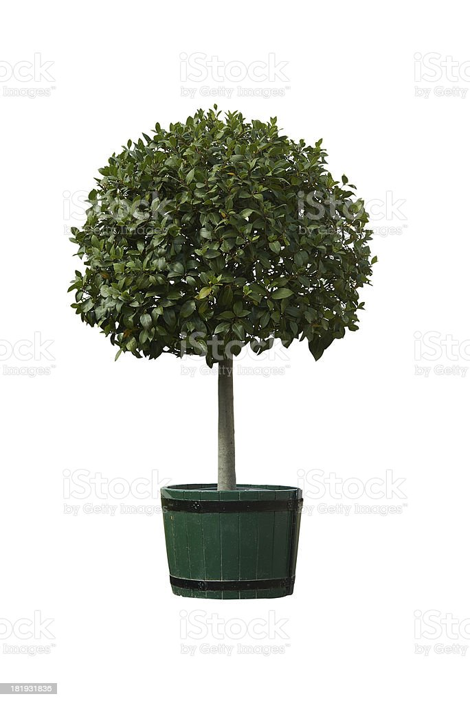 tree in pot stock photo
