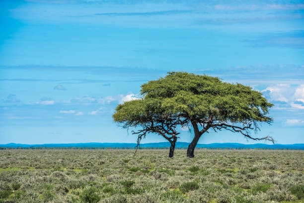Tree in savannah, classic african landscape image stock photo
