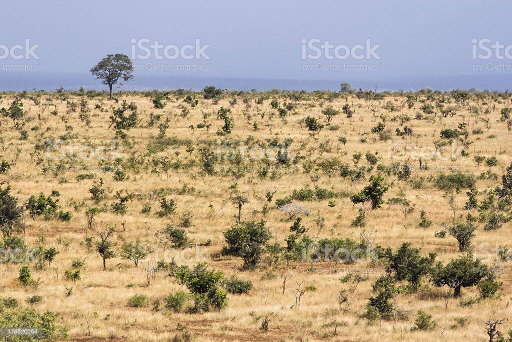 Tree in savannah royalty-free stock photo