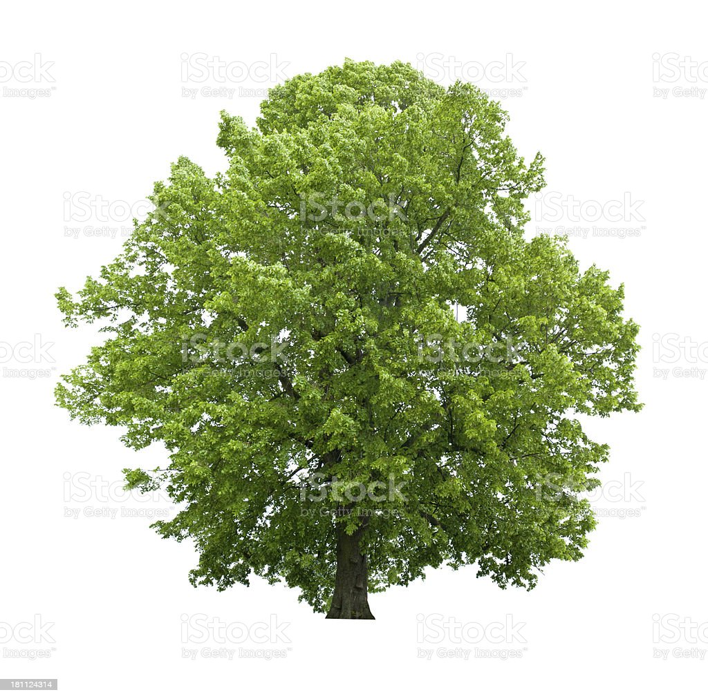 Tree in spring - isolated on white huge basswood royalty-free stock photo