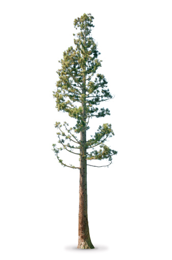 Tree in spring - isolated on white - Sequoia tree. More isolated trees:
