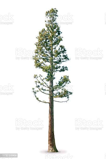 Photo of Tree in spring - isolated on white Sequoia