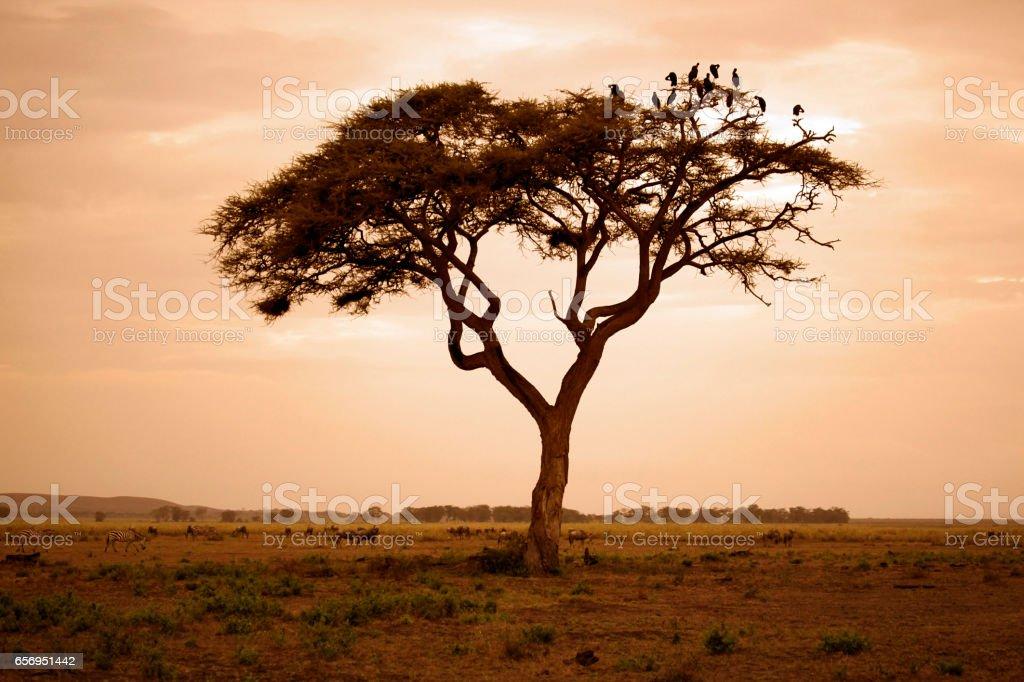 Tree in the African savannah. Amboseli national park in Kenia stock photo