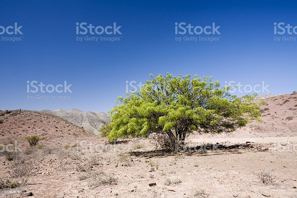 Tree in the Desert. Chile royalty-free stock photo