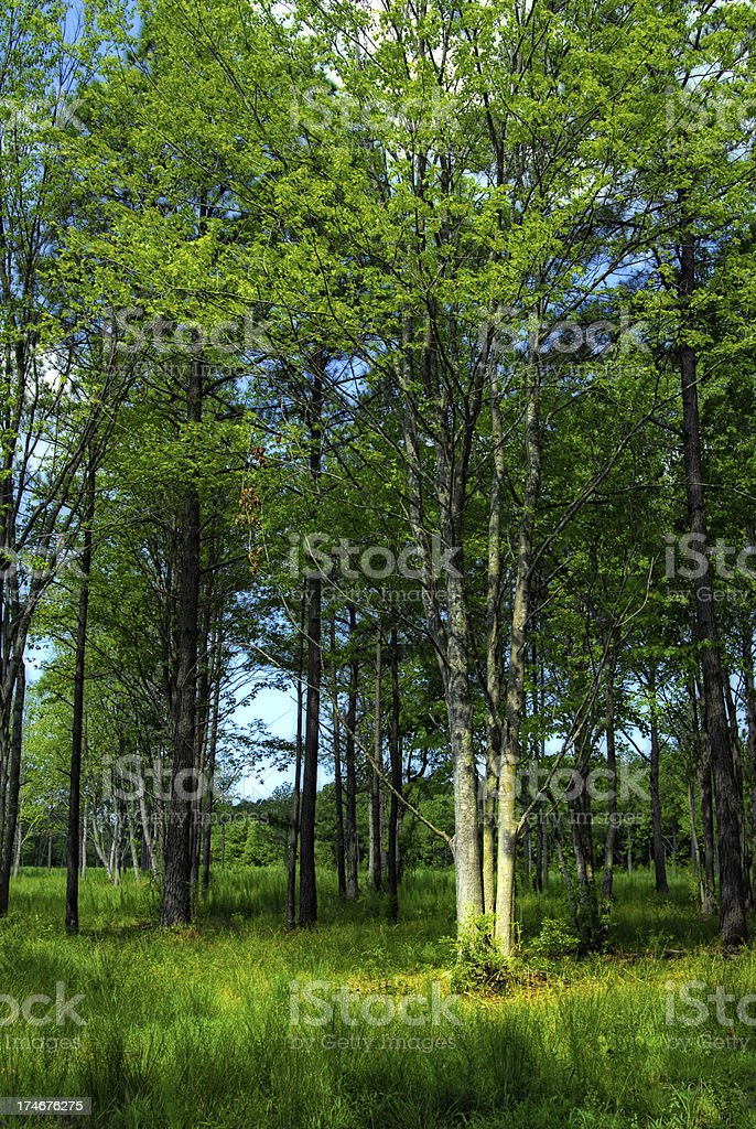Tree in the Forest royalty-free stock photo