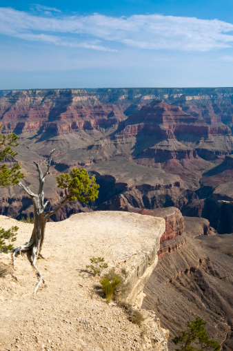 tree in the grand canyon