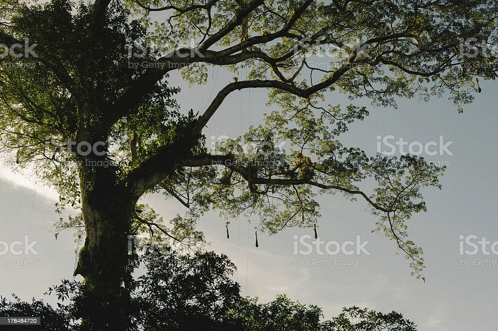 Tree in the Jungle royalty-free stock photo
