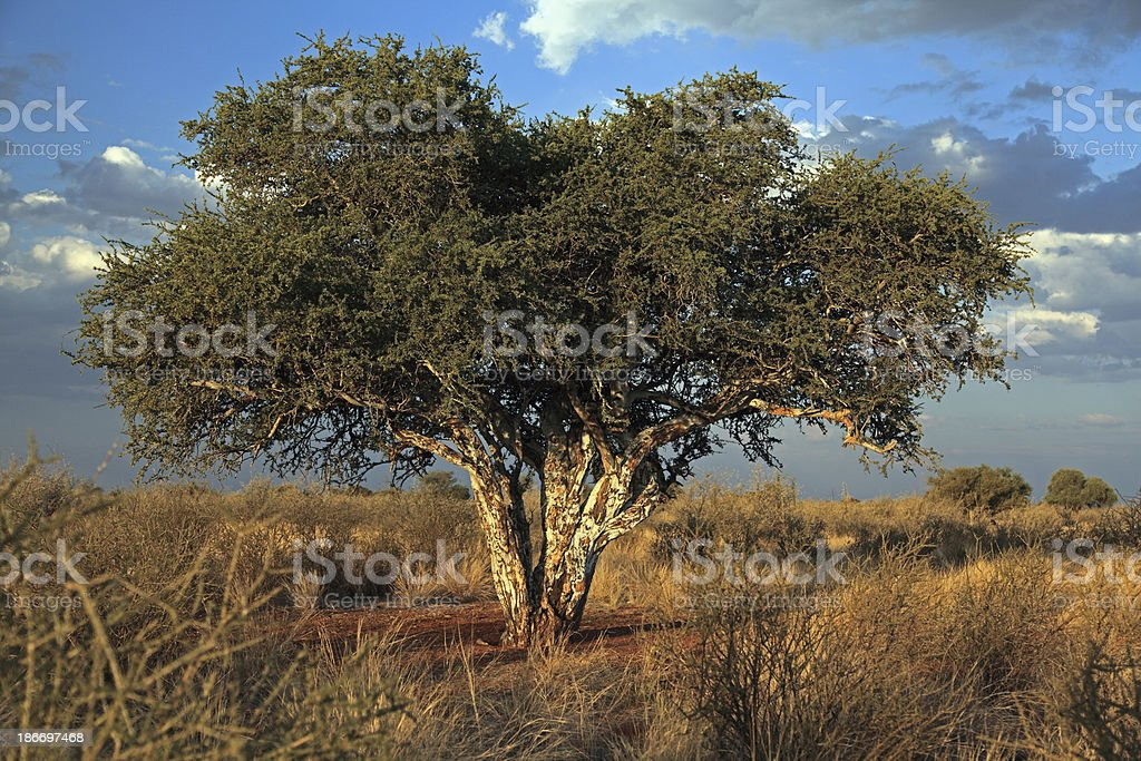 tree in the Kalahari stock photo