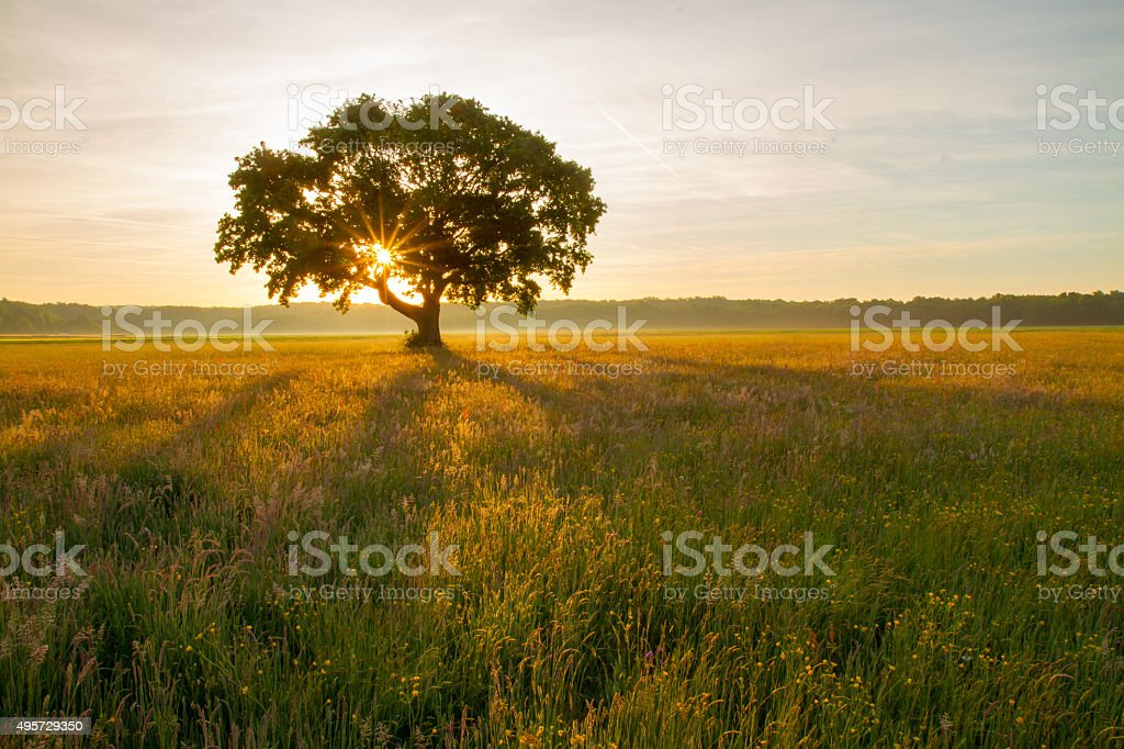 Tree in the meadow at sunrise stock photo