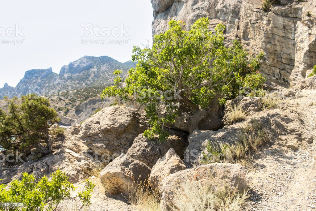 A tree in the rocks. royalty-free stock photo