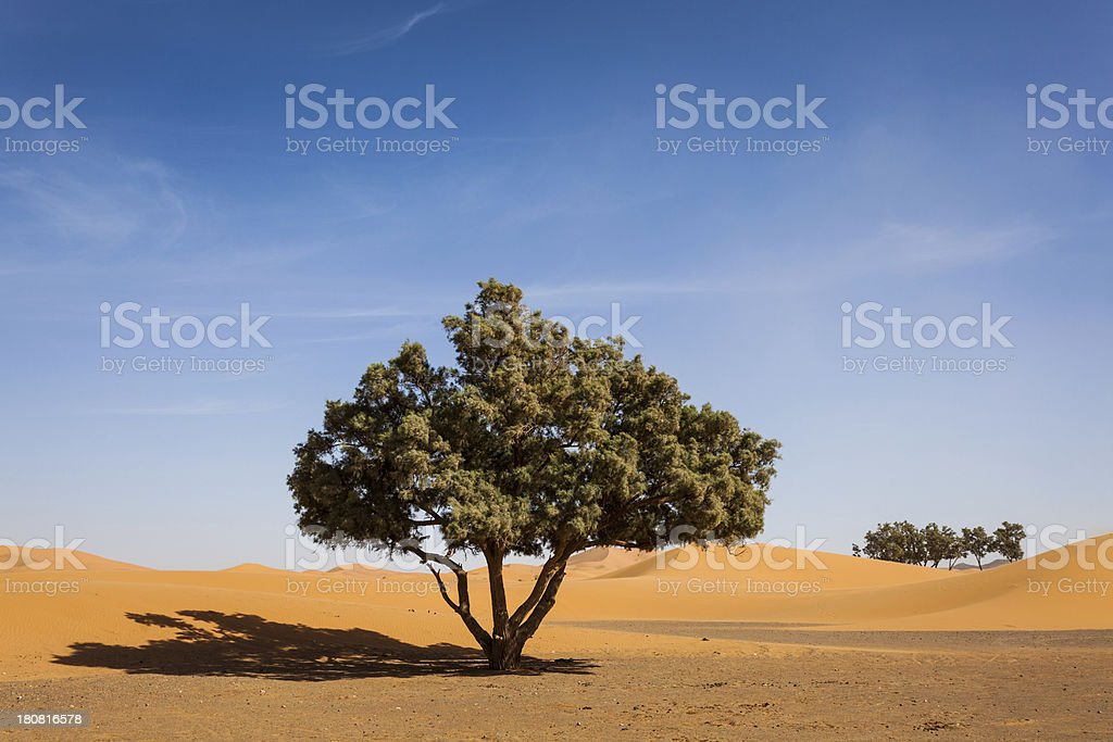 Tree in the Sahara Desert, Morocco royalty-free stock photo