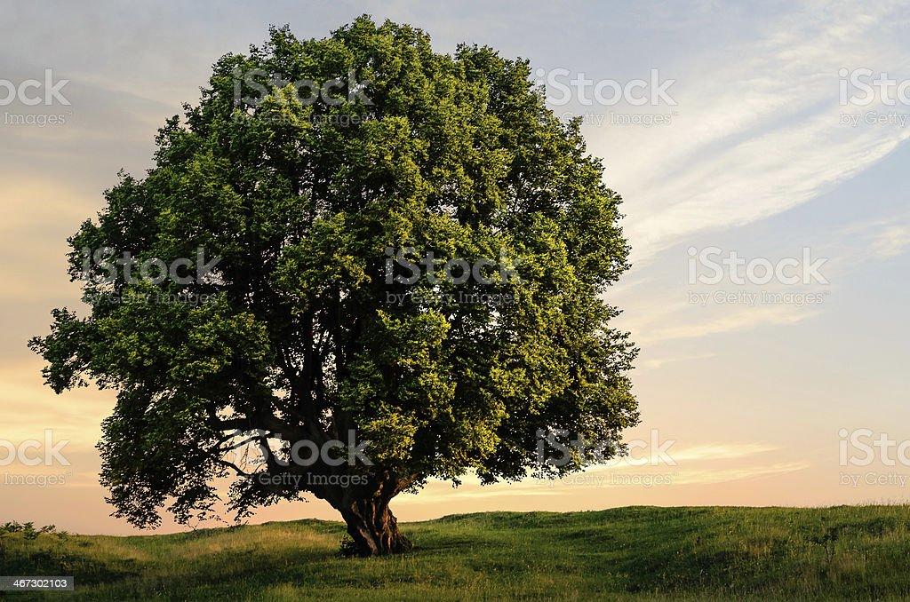Árvore no pôr-do-sol - foto de acervo