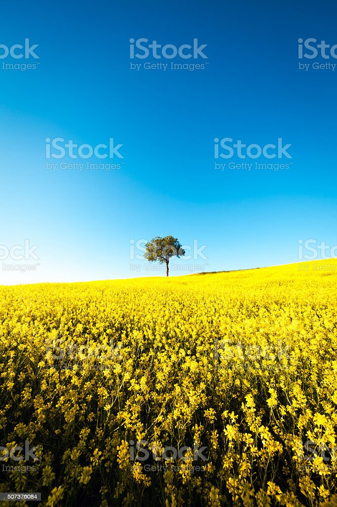Tree In The Yellow Field stock photo