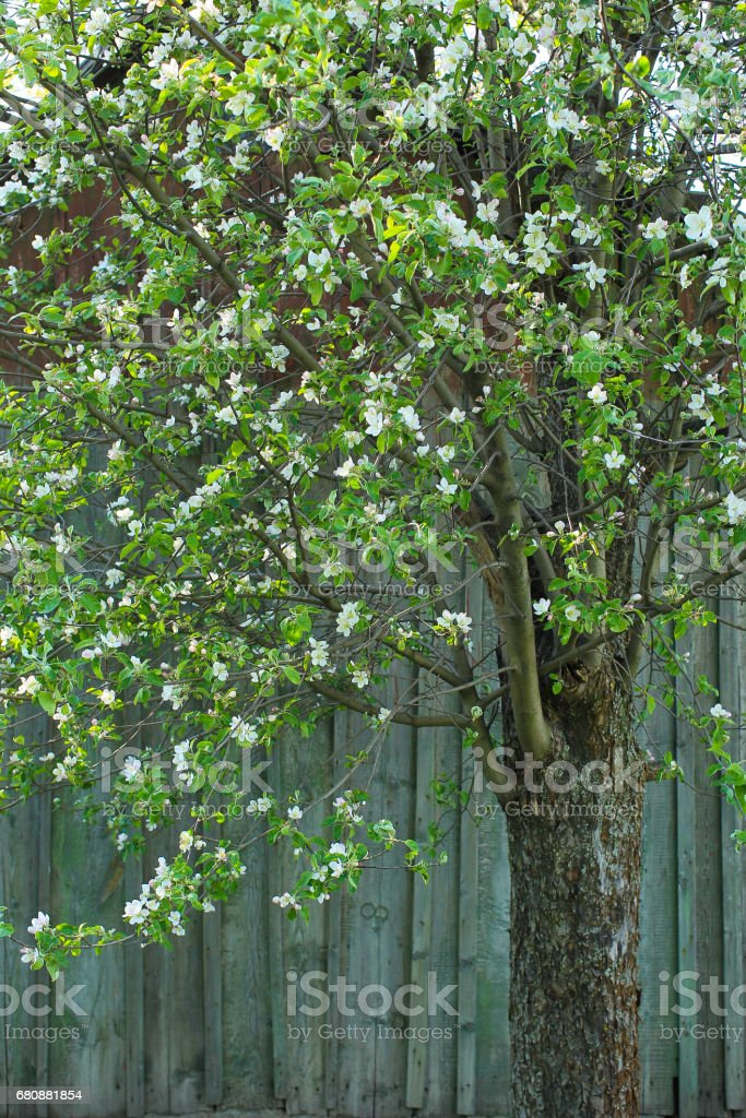 Tree in white flowers on the background of a wooden wall royalty-free stock photo