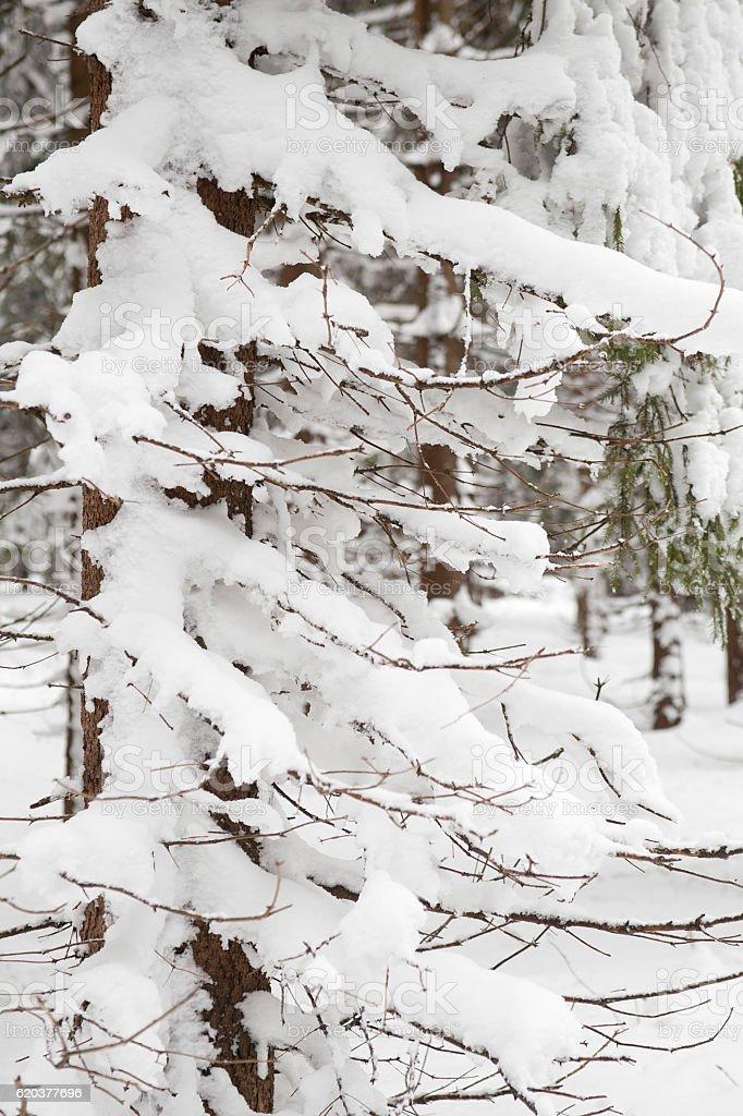 Drzewo w zimie zbiór zdjęć royalty-free